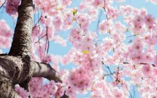 Цвітіння сакури 2020: коли буде і де подивитися в Москві і Санкт-Петербурзі