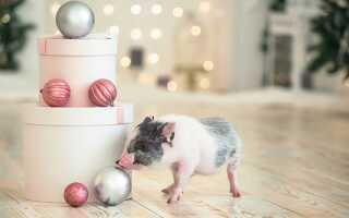 Рік який свині буде в 2019 | за східним календарем