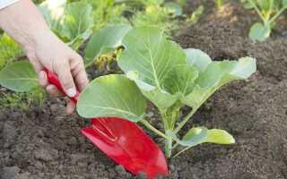 Капуста: вирощування і догляд у відкритому грунті