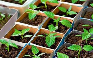 Коли садити перець на розсаду в 2020 році за місячним календарем